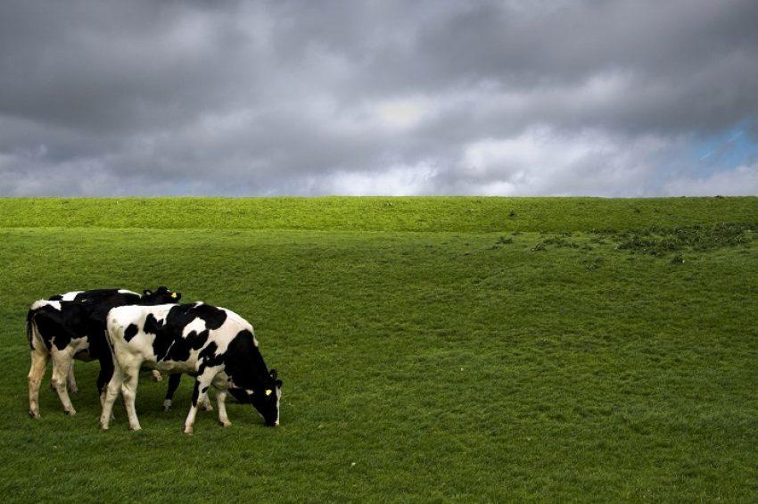 Update fosfaatrechten voor melkvee