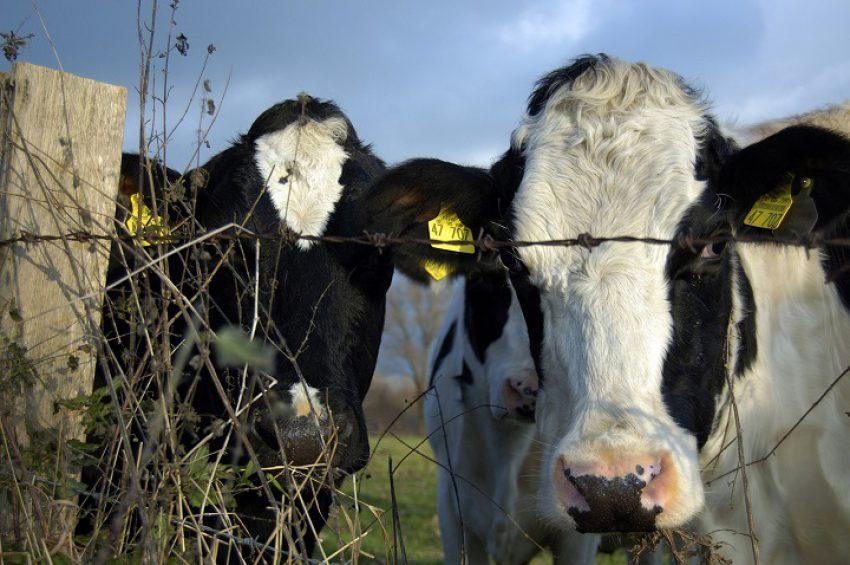 Wetsvoorstel fosfaatrechten melkvee: Europese Commissie vloert Van Dam