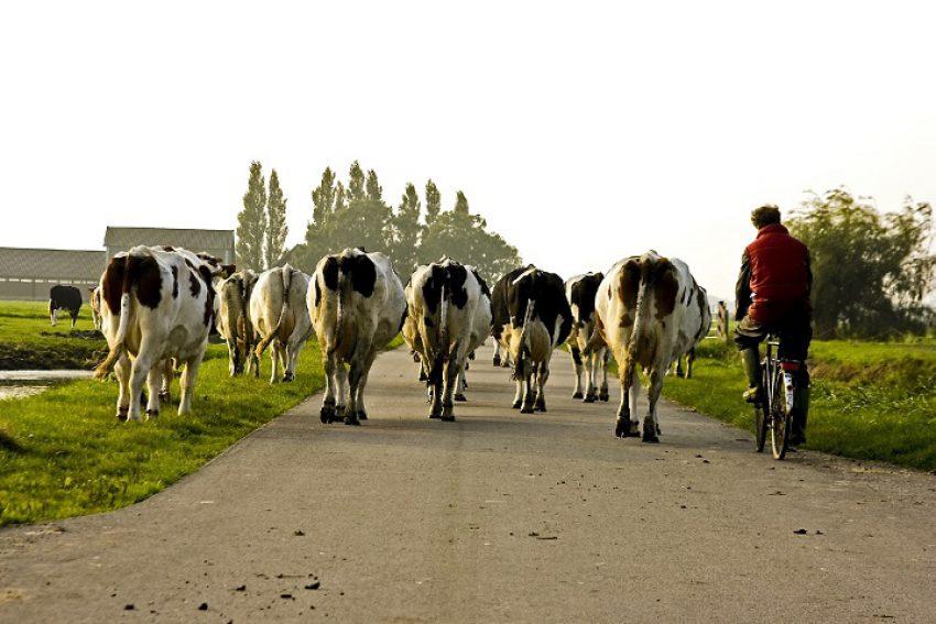 Koeien moeten de weg aan een touwtje oversteken: schade wordt beperkt vergoed