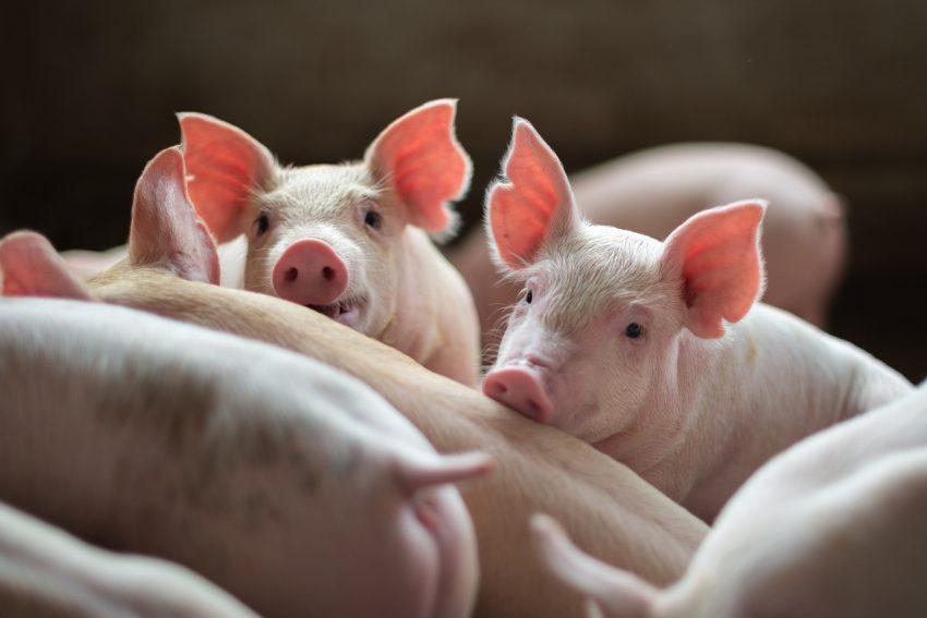 Drastische beleidswijziging voor de Noordbrabantse veehouderij