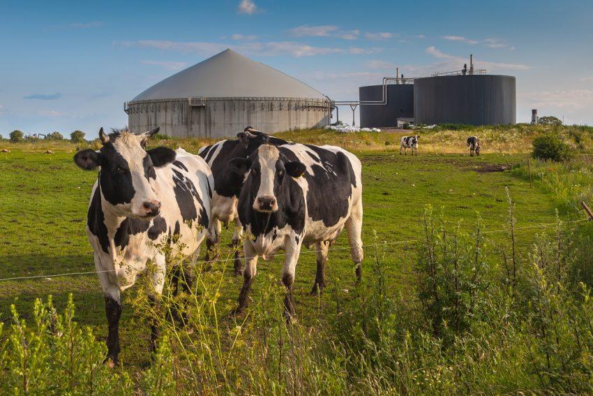 Koken op koeienpoep