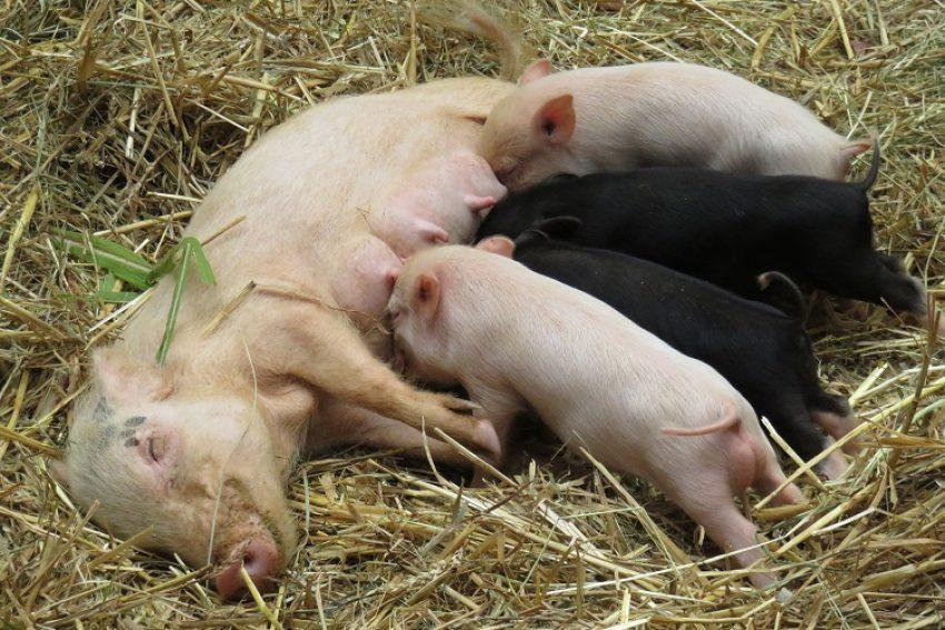 Verhoging subsidieplafond - concept Subsidieregeling sanering varkenshouderijen (Srv)