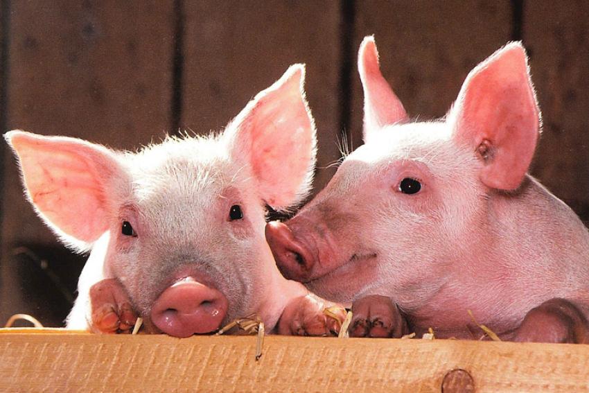 Definitieve Subsidieregeling sanering varkenshouderijen (Srv)