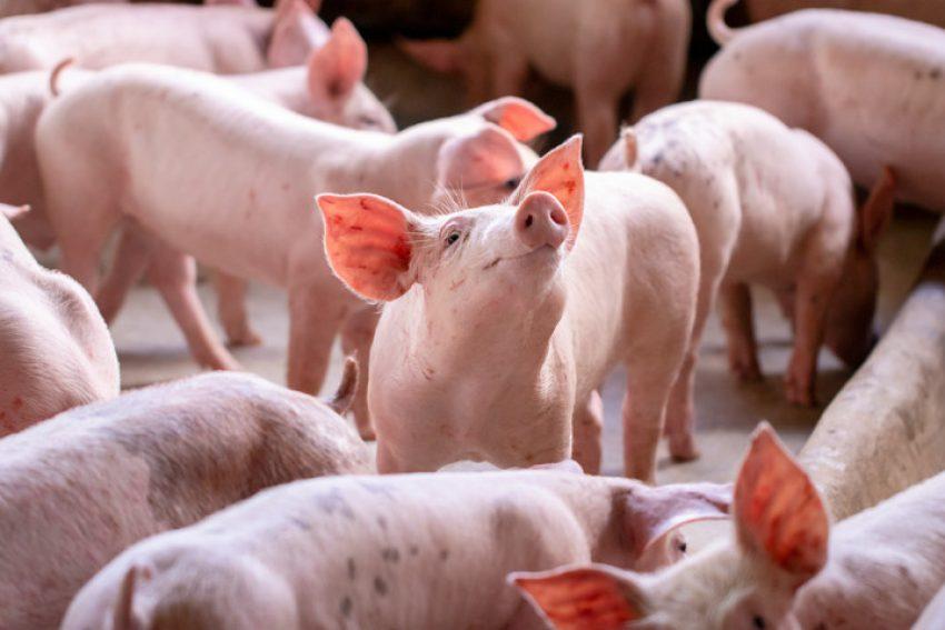 Kamervragen over leeftijd stal: Subsidieregeling sanering varkenshouderijen (Srv)