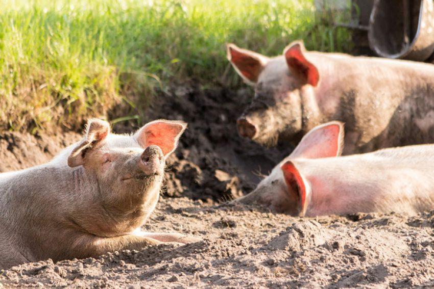 Antwoord op Kamervragen over leeftijd stal: Subsidieregeling sanering varkenshouderijen (Srv)