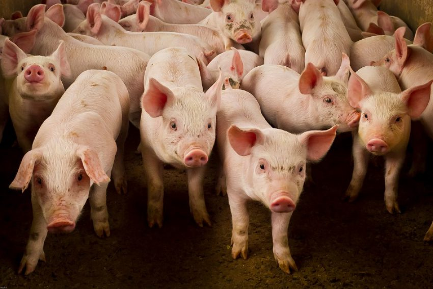 Stand van zaken: Subsidieregeling sanering varkenshouderijen (Srv)