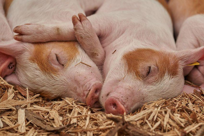 Gewijzigde Regeling geurhinder en veehouderij: jurisprudentieoverzicht en laatste stand van zaken