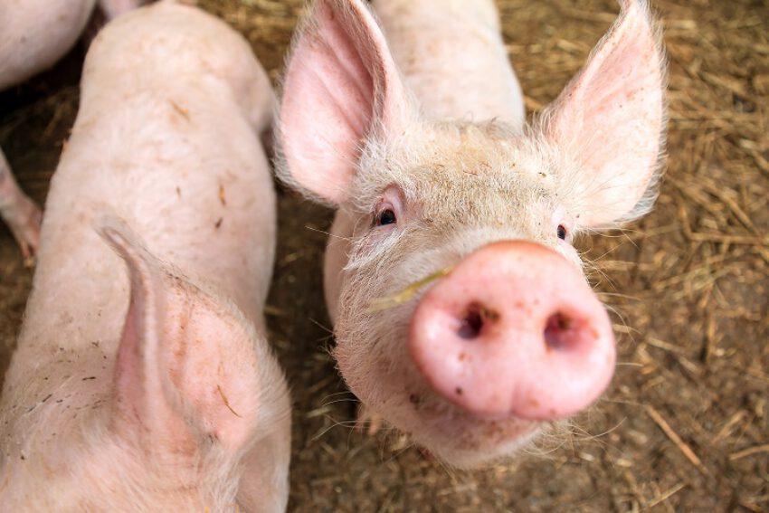 Afbeelding voor Regeling geurhinder en veehouderij: gewijzigde geuremissiefactoren ondanks gebrekkig onderzoek verbindend